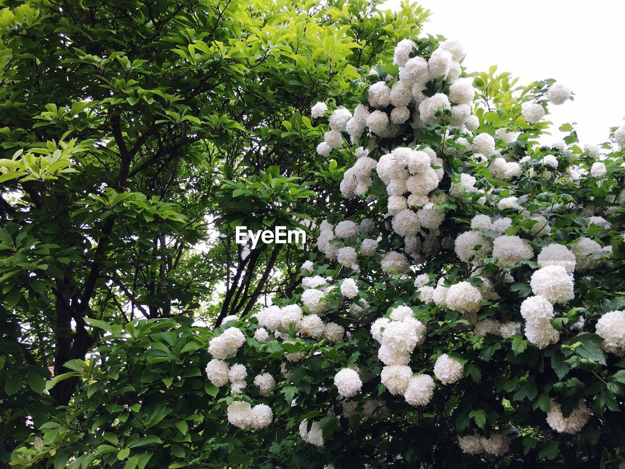 plant, flower, beauty in nature, freshness, flowering plant, growth, tree, fragility, vulnerability, white color, day, nature, no people, close-up, low angle view, outdoors, green color, botany, petal, blossom, flower head, bunch of flowers, lilac