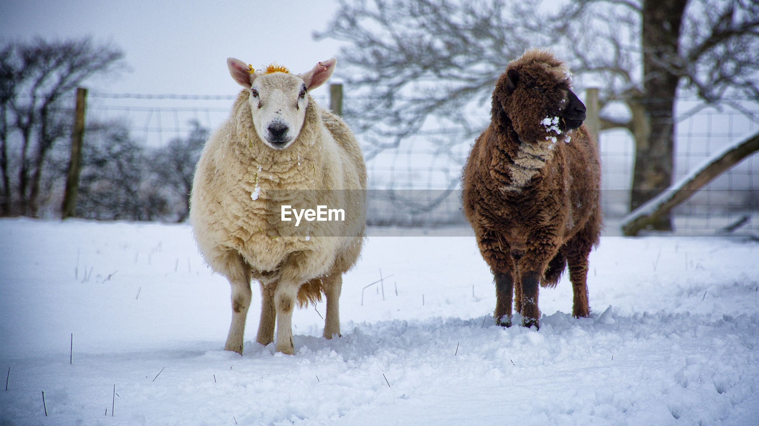 Sheep standing on snow covered field