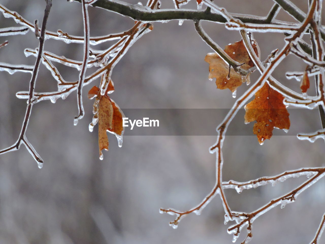 focus on foreground, close-up, plant, winter, cold temperature, beauty in nature, no people, snow, day, tree, nature, branch, change, ice, dry, autumn, twig, plant part, frozen, outdoors, leaves, dead plant