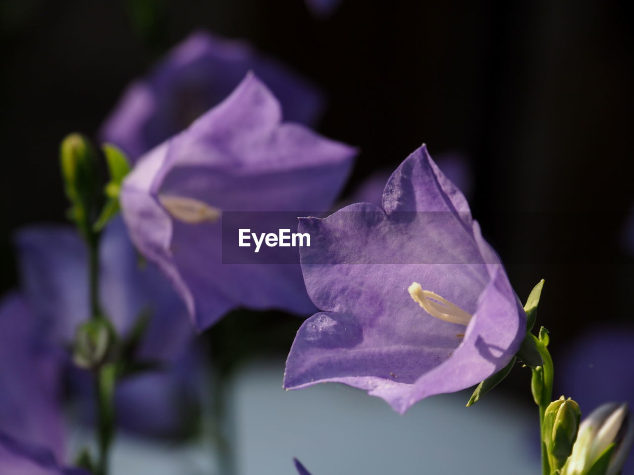 flower, flowering plant, petal, plant, beauty in nature, vulnerability, freshness, fragility, close-up, inflorescence, purple, flower head, growth, nature, focus on foreground, no people, selective focus, outdoors, leaf, plant part