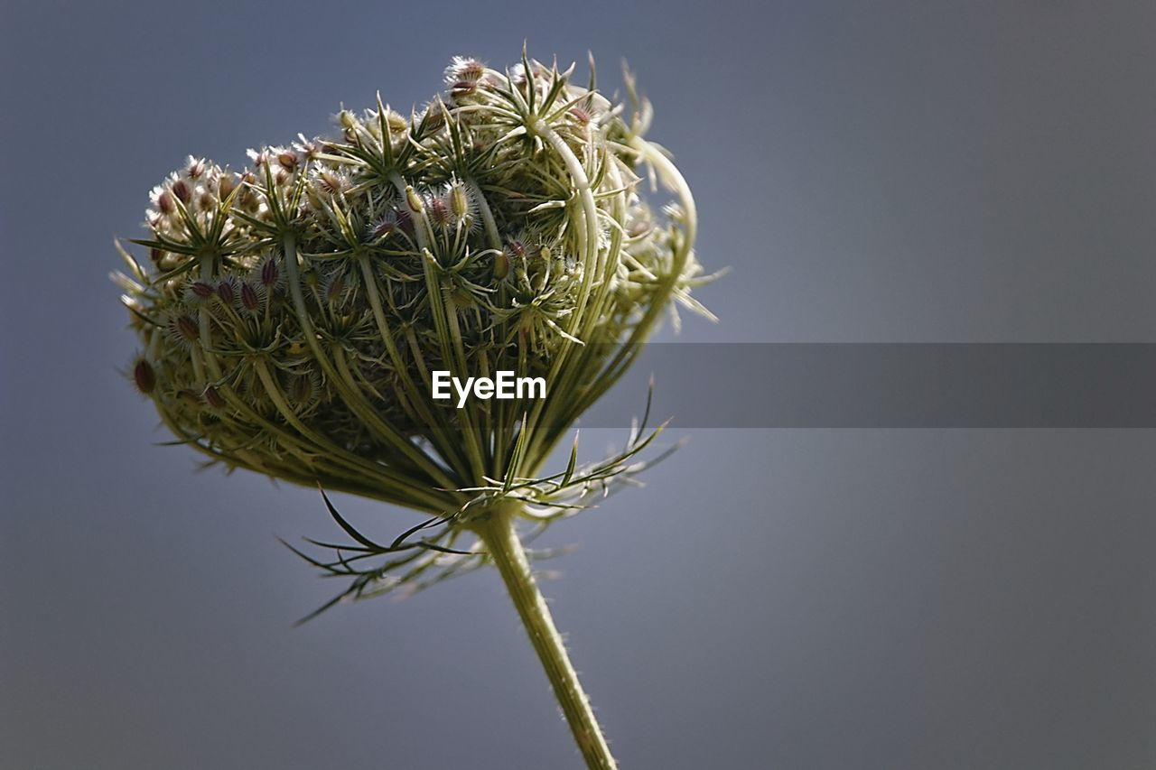plant, copy space, beauty in nature, no people, nature, growth, green color, flower, sky, close-up, flowering plant, freshness, fragility, vulnerability, clear sky, day, outdoors, studio shot, focus on foreground, plant stem, flower head, sepal