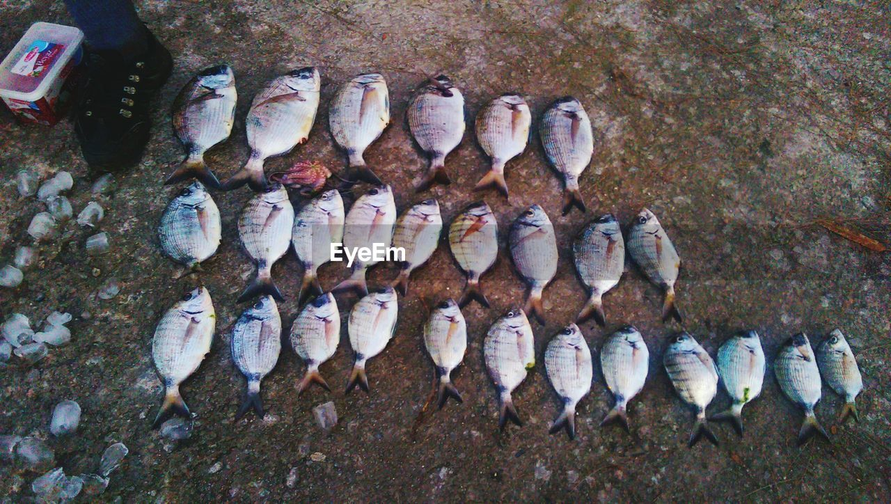 High Angle View Of Fish On Filed