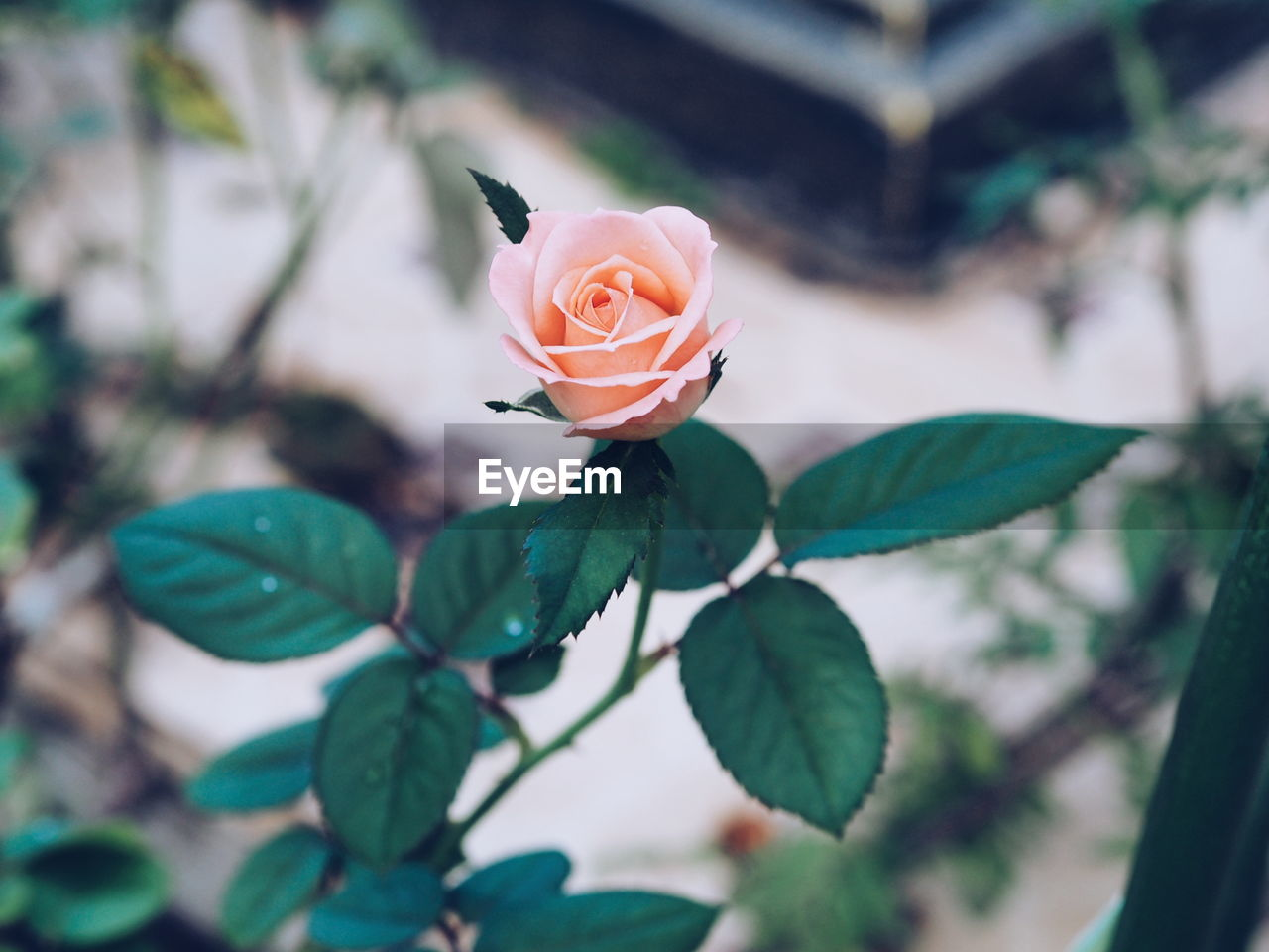 flower, petal, leaf, rose - flower, growth, plant, beauty in nature, nature, fragility, flower head, freshness, blooming, outdoors, close-up, no people, day