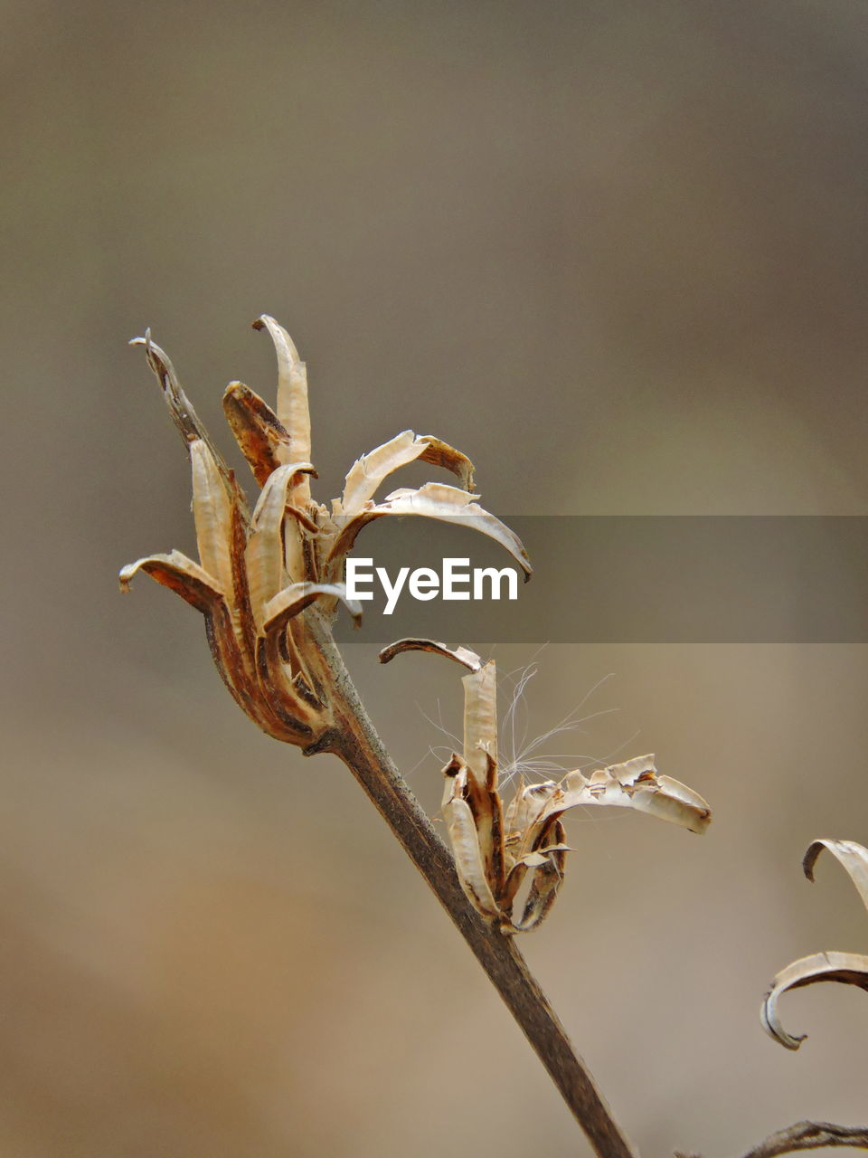 plant, no people, beauty in nature, close-up, nature, focus on foreground, growth, day, vulnerability, dry, fragility, outdoors, plant stem, tranquility, flower, brown, wilted plant, dried plant, botany, flowering plant, dead plant, dried