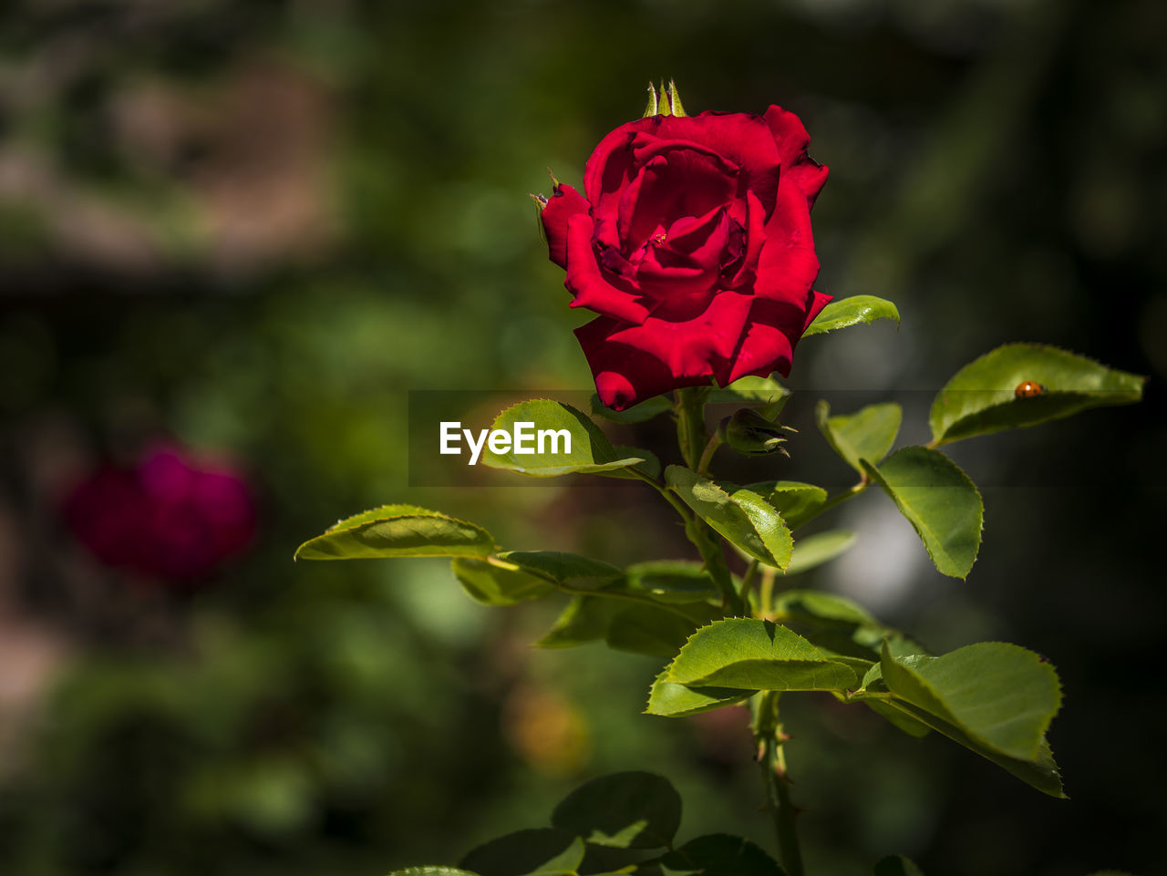 flower, flowering plant, plant, beauty in nature, vulnerability, fragility, freshness, petal, growth, rose, close-up, rose - flower, leaf, plant part, inflorescence, focus on foreground, flower head, nature, red, no people, sepal
