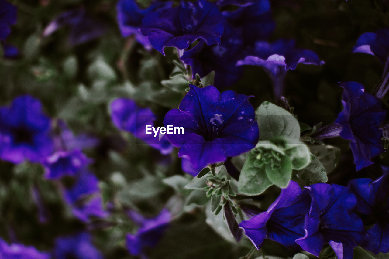 purple, flower, petal, beauty in nature, nature, fragility, growth, freshness, no people, flower head, plant, blue, day, blooming, outdoors, close-up, petunia