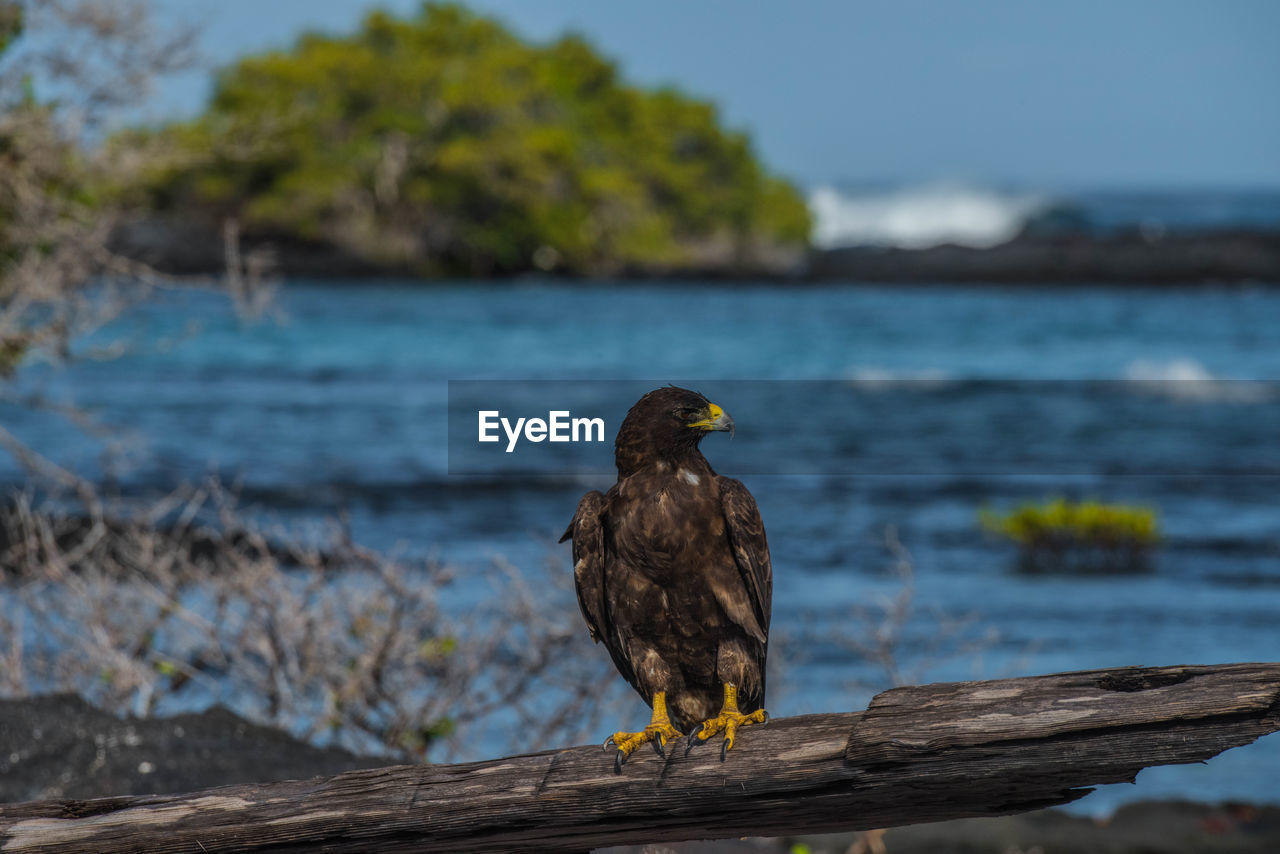 Golden eagle perching on driftwood against sea