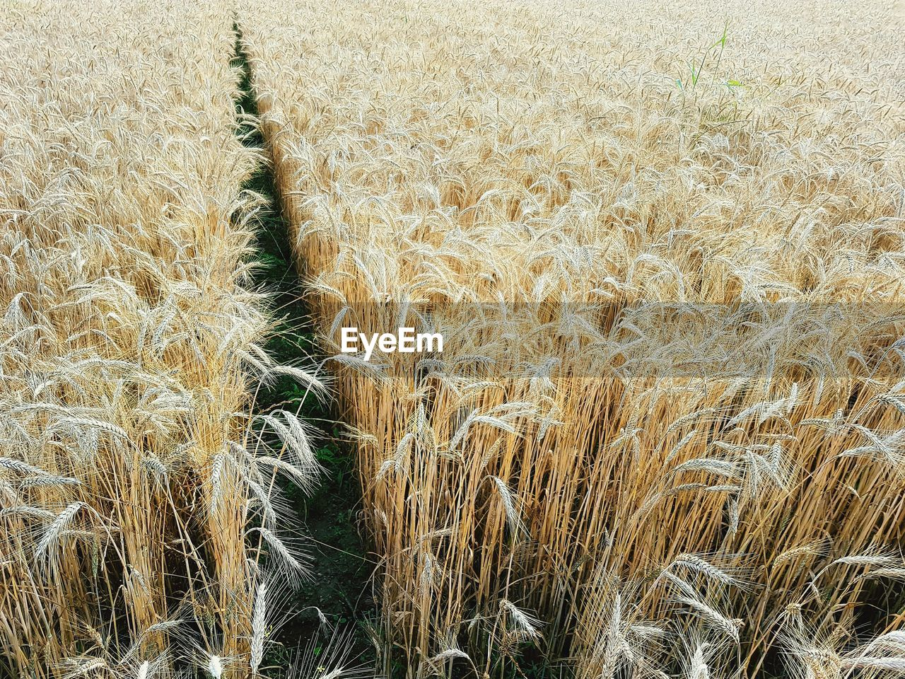 growth, plant, field, agriculture, crop, cereal plant, land, rural scene, landscape, farm, no people, wheat, day, tranquility, beauty in nature, nature, full frame, scenics - nature, environment, tranquil scene, outdoors, plantation, stalk