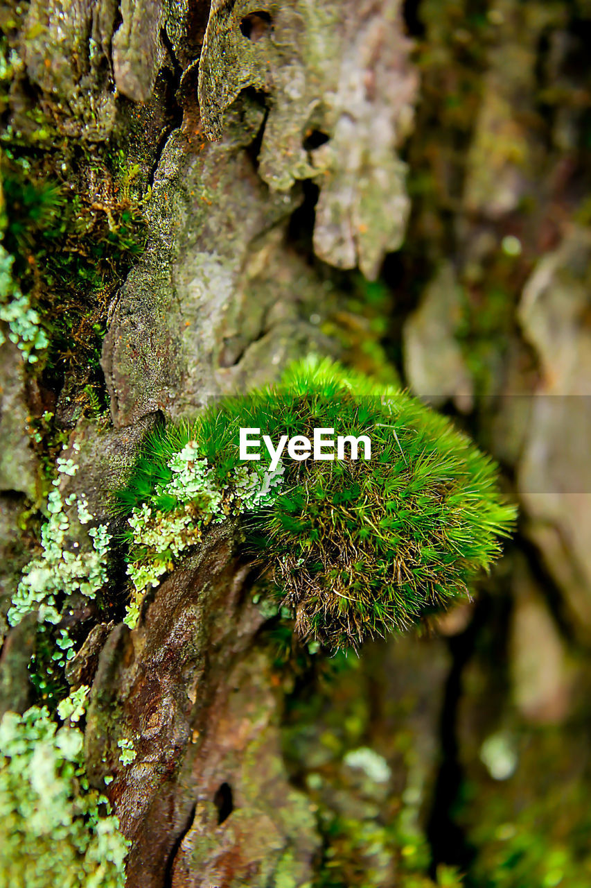 plant, growth, green color, tree, close-up, nature, day, tree trunk, focus on foreground, no people, trunk, moss, beauty in nature, outdoors, textured, forest, selective focus, branch, lichen, tranquility, bark