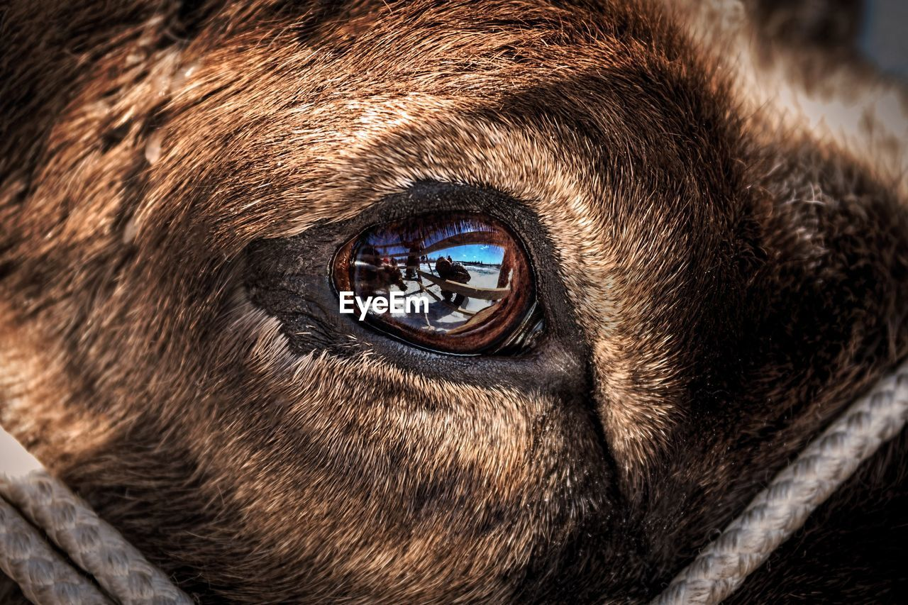 one animal, animal, mammal, animal themes, eye, close-up, animal body part, animal eye, domestic animals, vertebrate, domestic, pets, portrait, looking at camera, no people, canine, dog, brown, animal head, animal wildlife