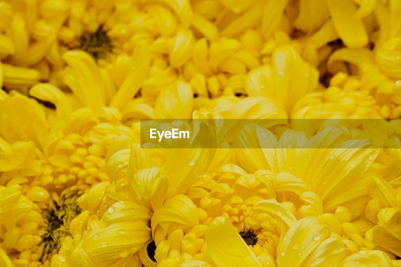 yellow, flower, freshness, flowering plant, vulnerability, fragility, full frame, close-up, petal, flower head, beauty in nature, plant, backgrounds, inflorescence, no people, growth, chrysanthemum, nature, abundance, day