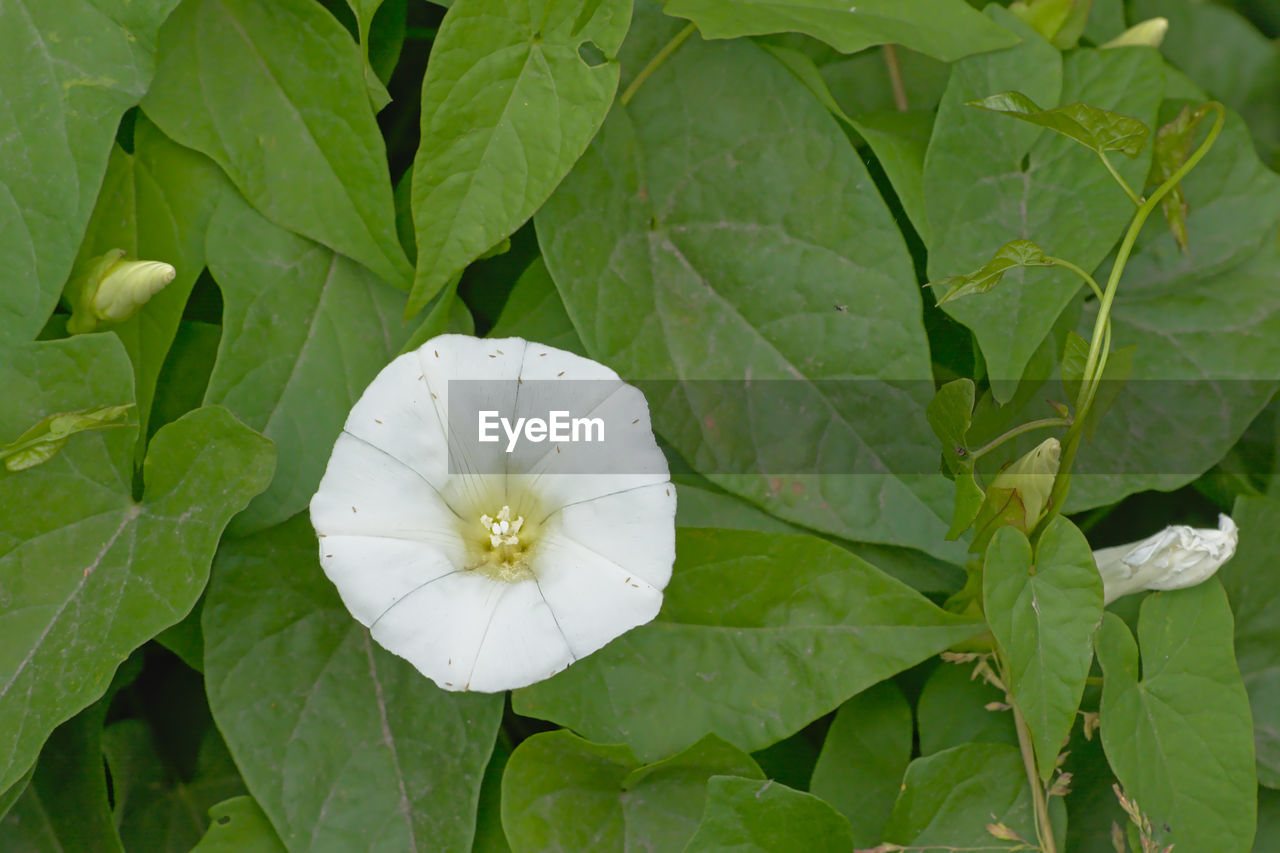 plant, leaf, plant part, growth, green color, beauty in nature, freshness, close-up, petal, nature, vulnerability, no people, fragility, flower, inflorescence, flowering plant, white color, flower head, day, outdoors