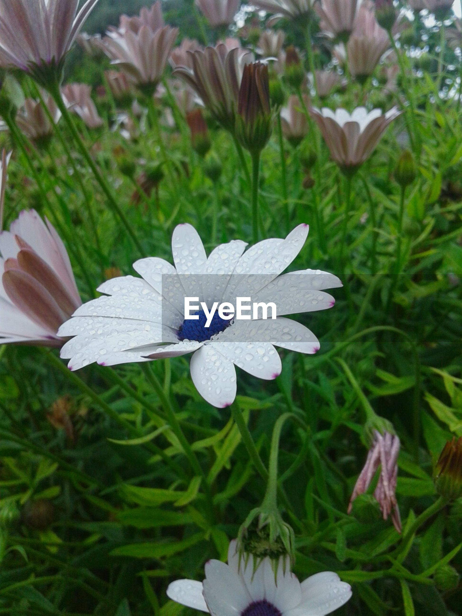 flower, freshness, petal, fragility, flower head, growth, beauty in nature, blooming, plant, nature, purple, leaf, white color, pollen, close-up, in bloom, field, focus on foreground, park - man made space, day