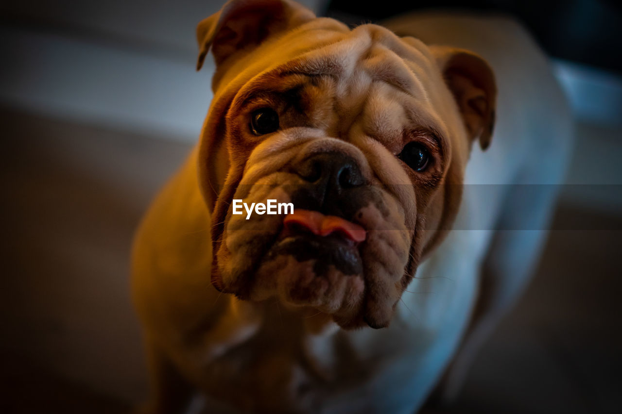 dog, canine, pets, domestic, mammal, domestic animals, one animal, animal themes, animal, vertebrate, close-up, focus on foreground, looking at camera, portrait, no people, brown, indoors, animal body part, animal head, selective focus, small, animal mouth