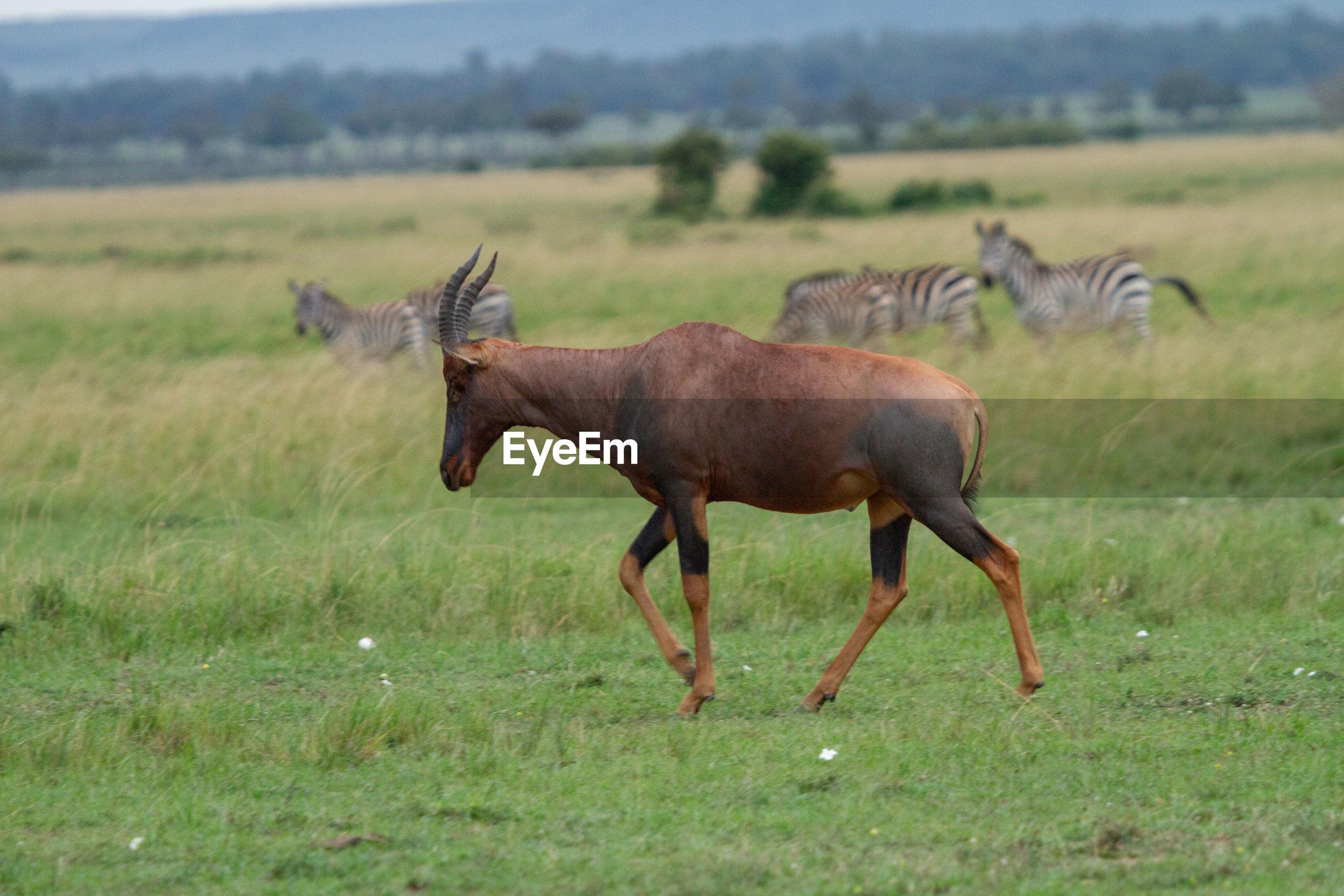 Sideview of topi antelope  in a field in kenya