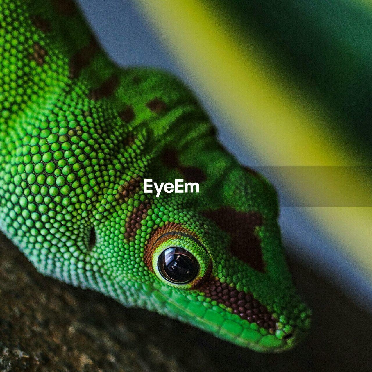 Close Up Of Alert Green Lizard