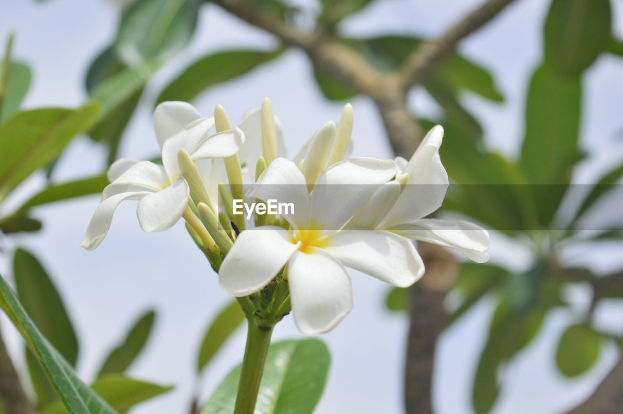 flower, white color, nature, beauty in nature, growth, petal, fragility, plant, freshness, flower head, leaf, blooming, no people, day, close-up, outdoors, tree, frangipani