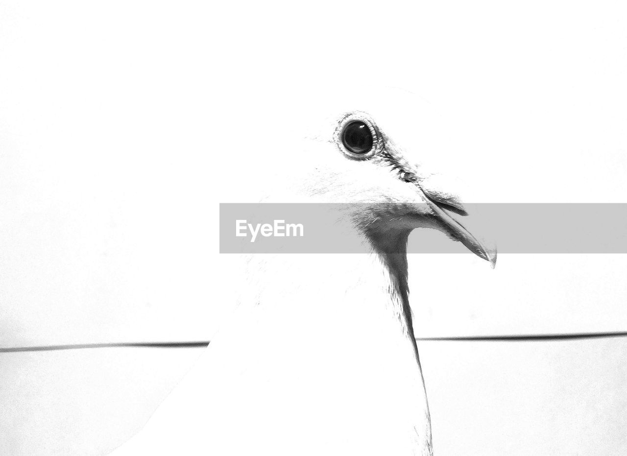 one animal, animal, animal themes, bird, vertebrate, animal wildlife, animals in the wild, no people, beak, animal body part, close-up, copy space, nature, white color, day, animal head, side view, outdoors, wall - building feature, looking away, animal eye