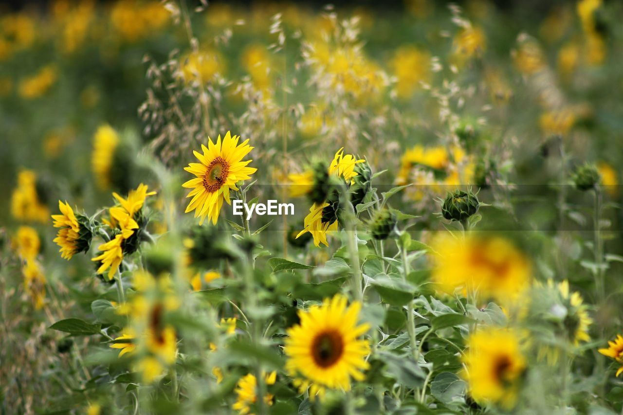 Close-Up Of Sunflowers Growing On Field