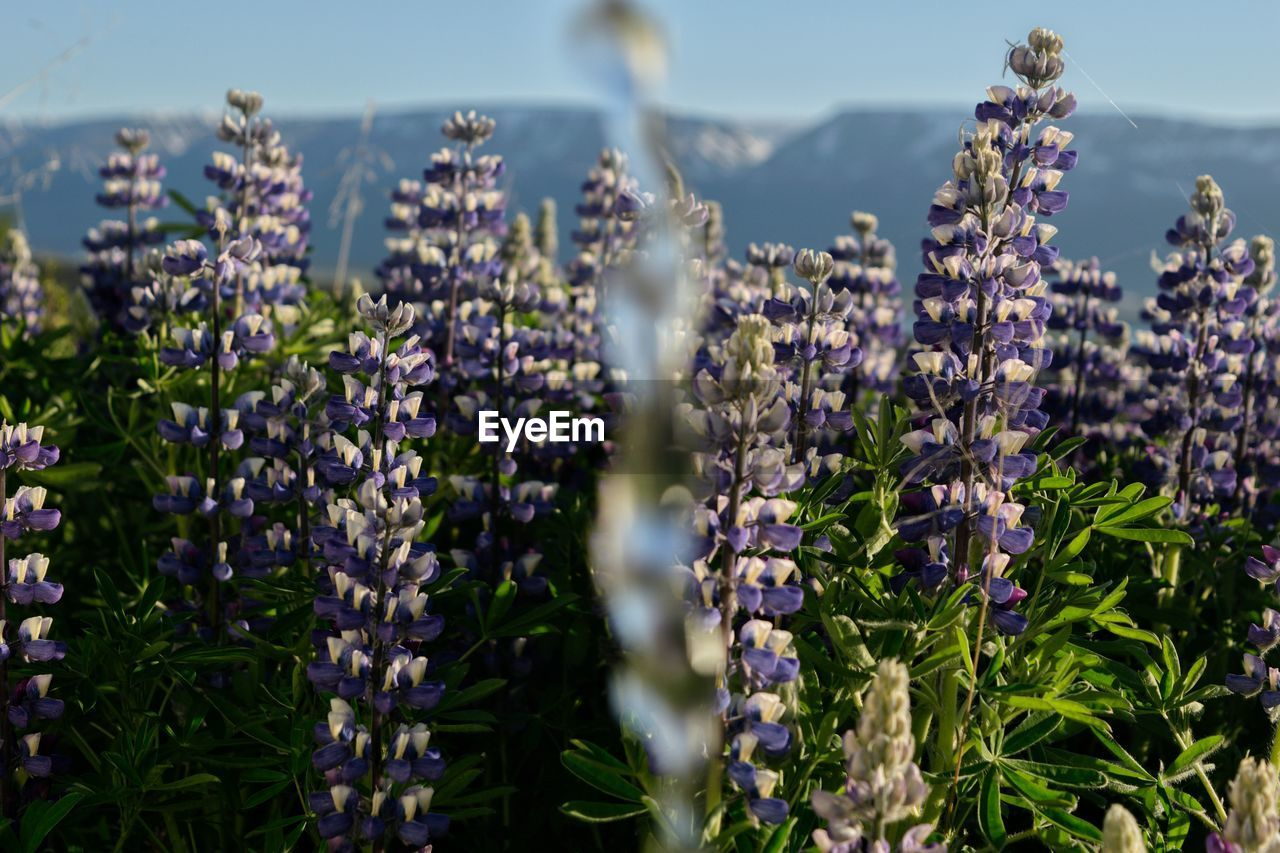 flower, plant, flowering plant, beauty in nature, growth, purple, vulnerability, fragility, freshness, lavender, selective focus, close-up, nature, day, no people, lavender colored, field, land, sunlight, petal, flower head