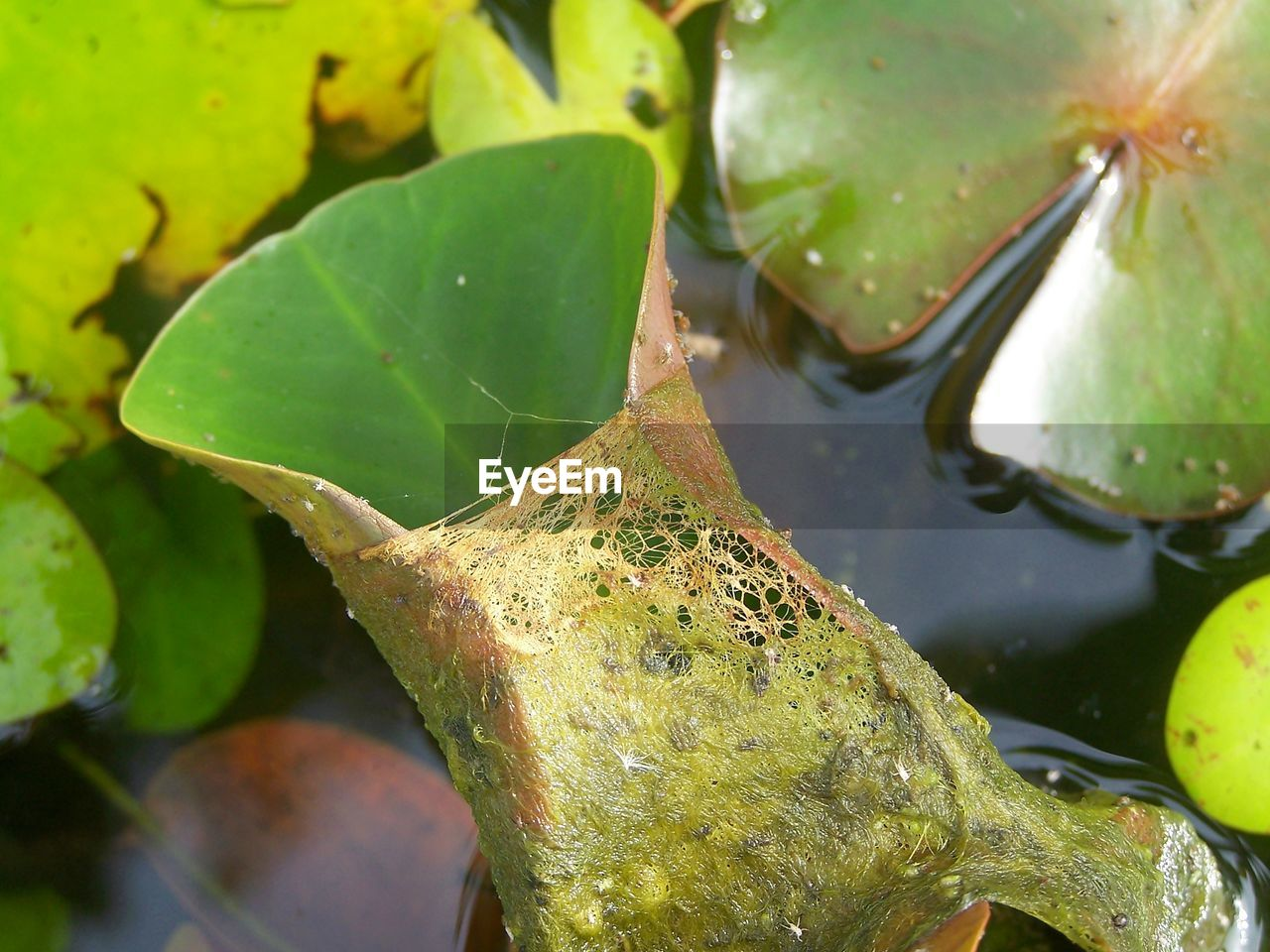 leaf, plant part, green color, plant, close-up, water, no people, nature, growth, day, floating, water lily, beauty in nature, wet, lake, outdoors, focus on foreground, floating on water, leaves
