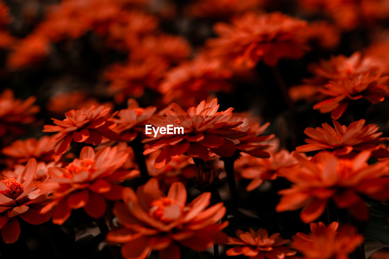 flower, growth, beauty in nature, petal, red, nature, fragility, flower head, freshness, blooming, plant, no people, close-up, outdoors, day
