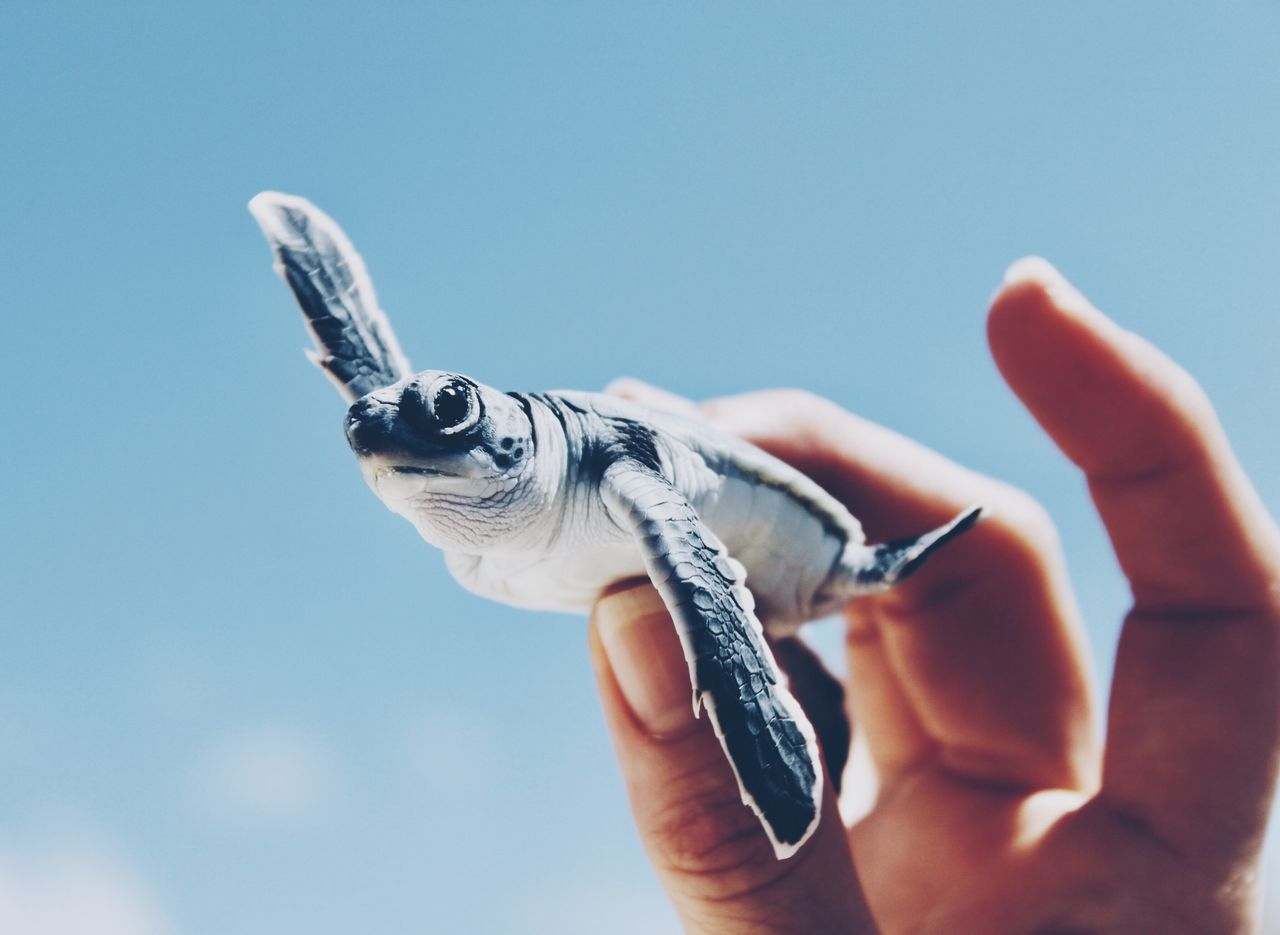 human hand, hand, one animal, animal wildlife, vertebrate, animals in the wild, one person, human body part, reptile, unrecognizable person, close-up, holding, body part, nature, blue, day, finger, marine