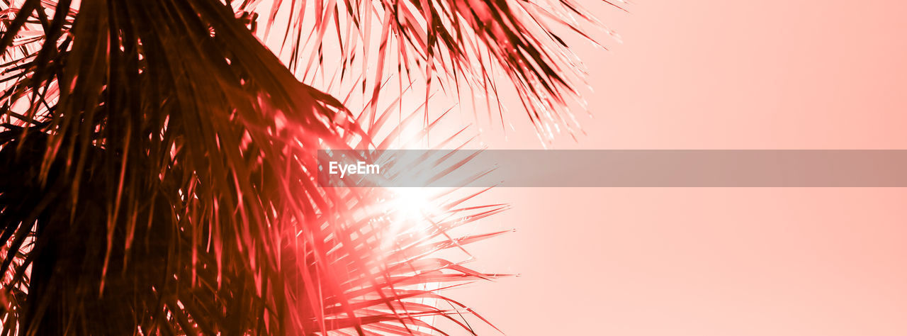 sky, pink color, nature, firework, motion, no people, low angle view, plant, firework display, close-up, red, beauty in nature, copy space, event, outdoors, celebration, exploding, sunlight, blurred motion, growth, firework - man made object, sparks, palm leaf