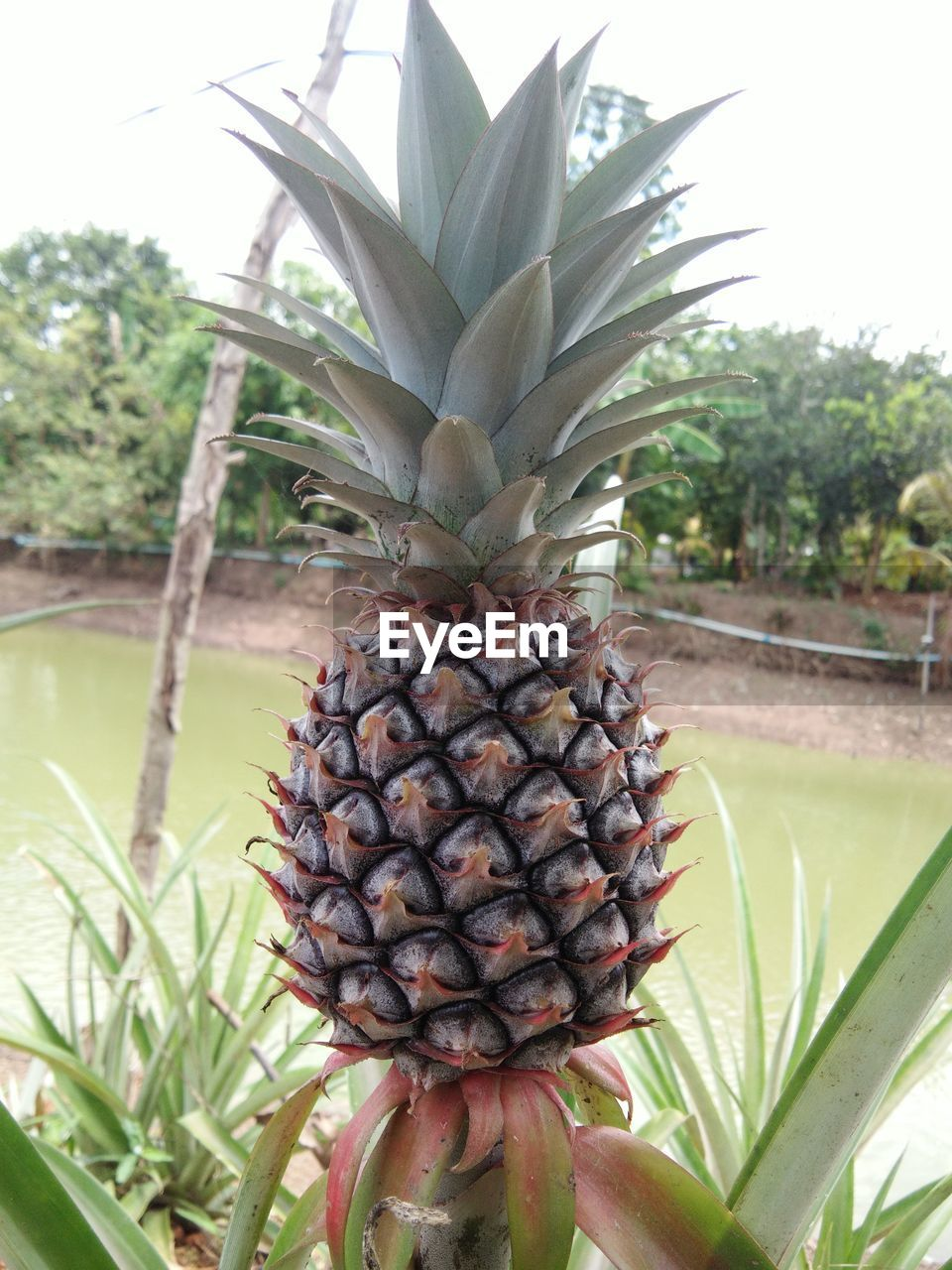 pineapple, plant, tropical fruit, healthy eating, fruit, day, freshness, nature, food and drink, tree, tropical climate, close-up, food, growth, no people, focus on foreground, wellbeing, leaf, outdoors, beauty in nature, ripe