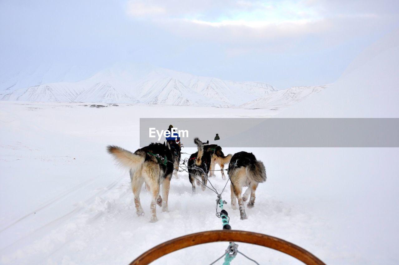 Siberian Husky Dogs On Snowy Field During Winter