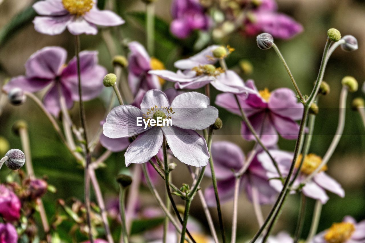 flower, fragility, petal, beauty in nature, growth, purple, nature, freshness, flower head, plant, no people, day, focus on foreground, blooming, close-up, outdoors, periwinkle
