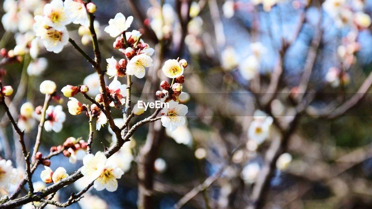 plant, flower, growth, flowering plant, fragility, beauty in nature, vulnerability, tree, freshness, branch, blossom, springtime, close-up, day, focus on foreground, nature, twig, white color, no people, selective focus, outdoors, cherry blossom, flower head, pollen, plum blossom, cherry tree, spring