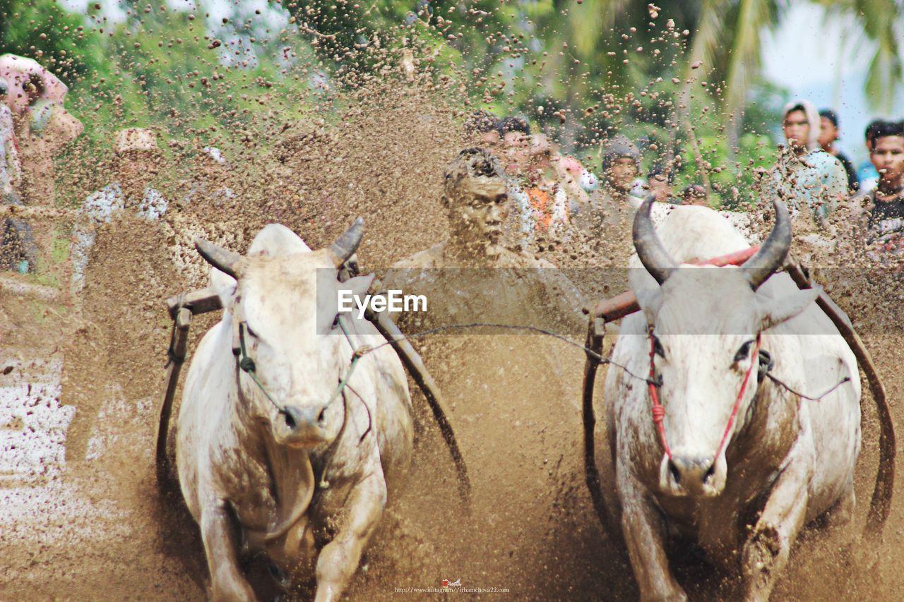Man Riding Bulls On Mud During Race