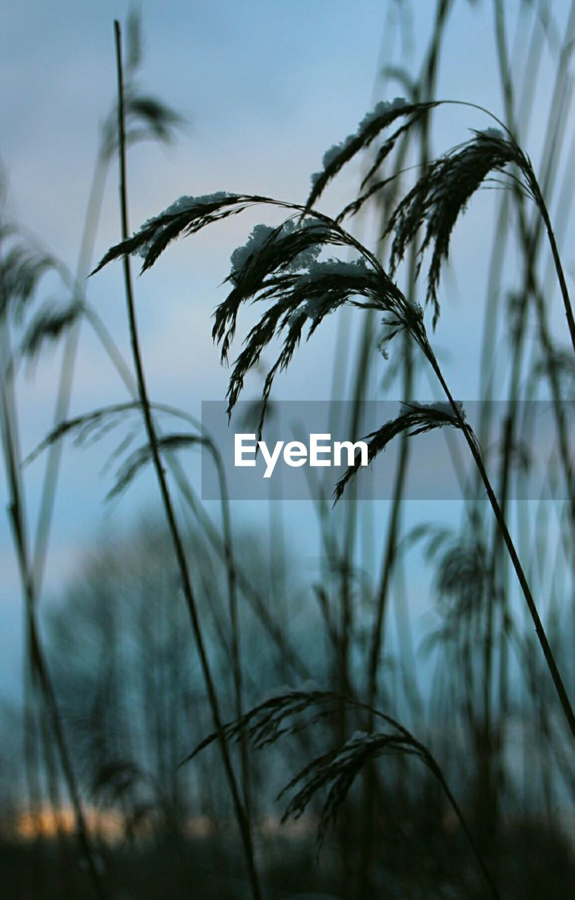 growth, plant, focus on foreground, close-up, nature, no people, beauty in nature, tranquility, sky, day, selective focus, land, outdoors, crop, grass, field, agriculture, cereal plant, plant stem, scenics - nature, stalk