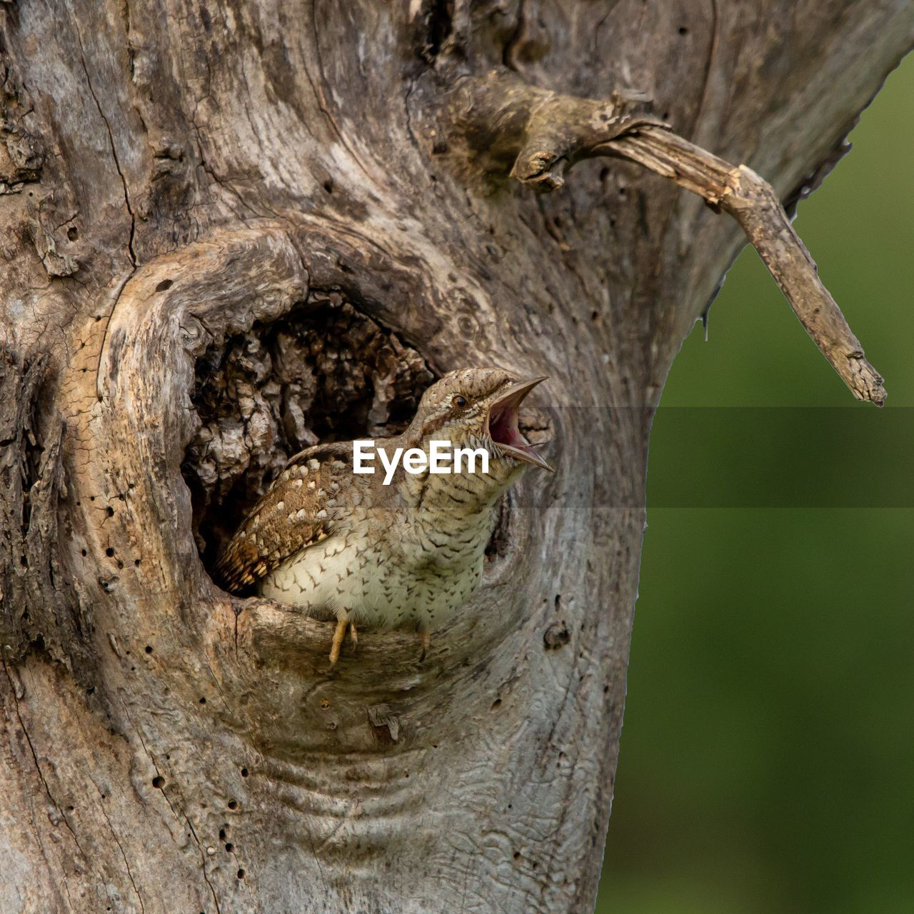 tree, animal wildlife, animal themes, animal, tree trunk, animals in the wild, trunk, bird, vertebrate, plant, one animal, focus on foreground, no people, nature, close-up, day, branch, woodpecker, outdoors, plant bark, mouth open