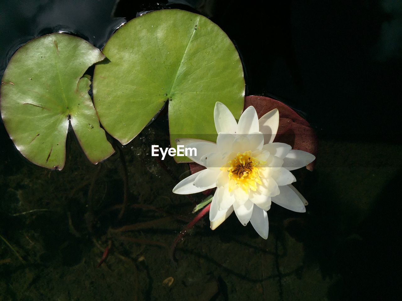 flower, flowering plant, vulnerability, freshness, fragility, beauty in nature, petal, leaf, close-up, growth, plant, inflorescence, plant part, flower head, white color, nature, high angle view, no people, directly above, water lily, pond, outdoors, pollen, floating on water