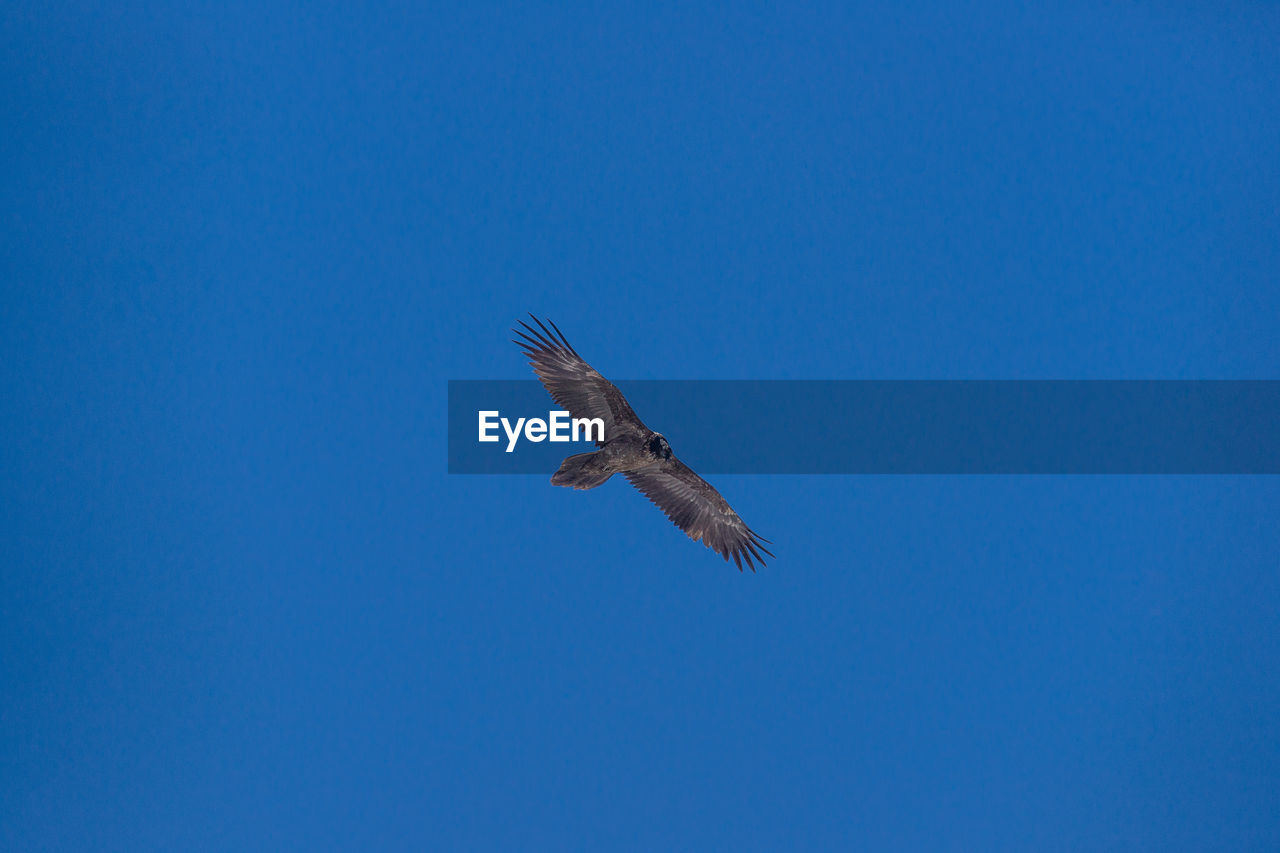 flying, bird, blue, copy space, clear sky, nature, spread wings, one animal, no people, animals in the wild, outdoors, animal themes, bird of prey, day