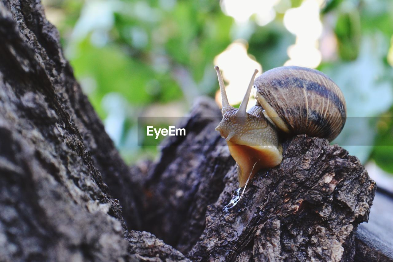 animals in the wild, animal wildlife, animal themes, invertebrate, animal, gastropod, one animal, mollusk, tree trunk, close-up, trunk, focus on foreground, no people, day, nature, tree, selective focus, shell, plant, animal shell, outdoors