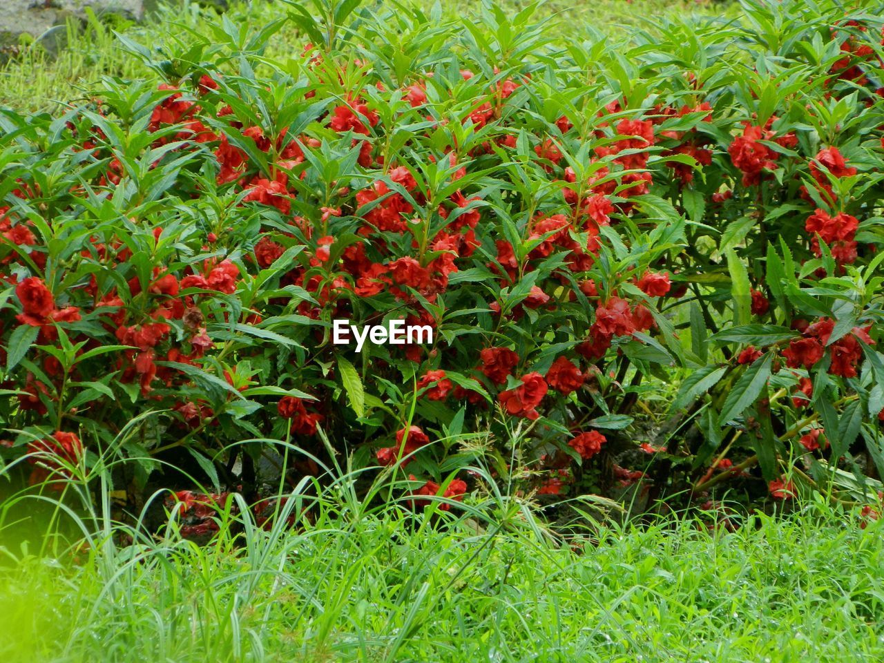 grass, red, green color, growth, nature, field, plant, outdoors, beauty in nature, no people, day, flower, freshness, close-up
