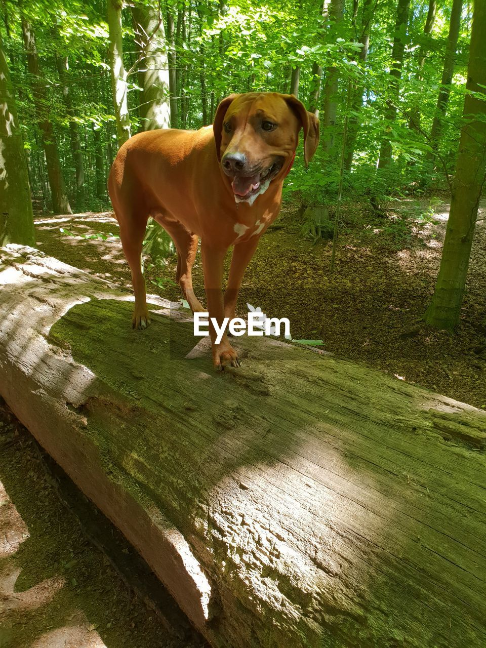 one animal, dog, canine, pets, domestic, domestic animals, mammal, animal themes, animal, vertebrate, plant, day, looking at camera, portrait, tree, standing, nature, land, no people, wood - material, outdoors