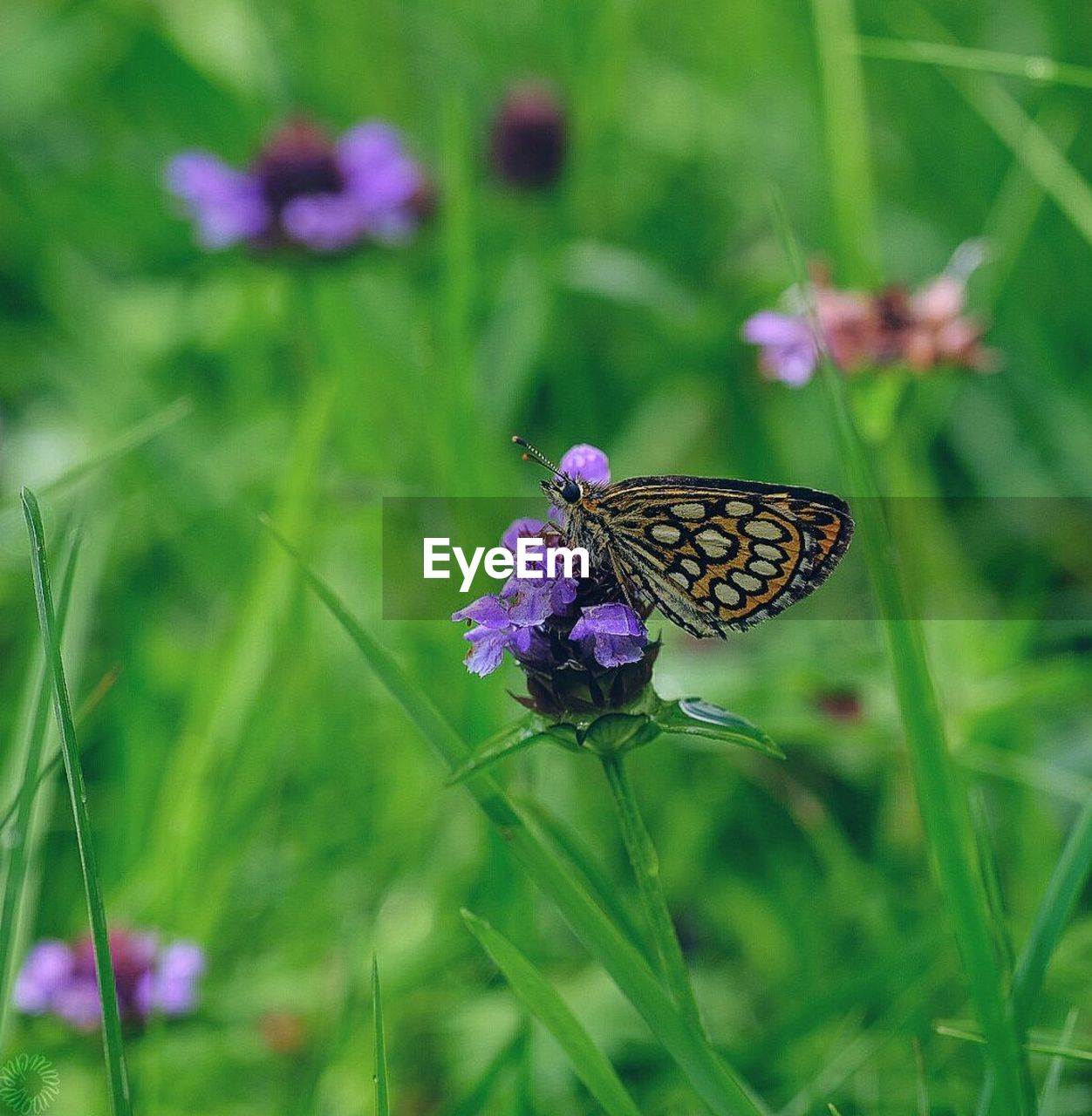 flower, insect, animal themes, one animal, animals in the wild, fragility, nature, beauty in nature, no people, butterfly - insect, plant, focus on foreground, growth, purple, outdoors, day, butterfly, grass, close-up, animal wildlife, freshness, pollination, flower head