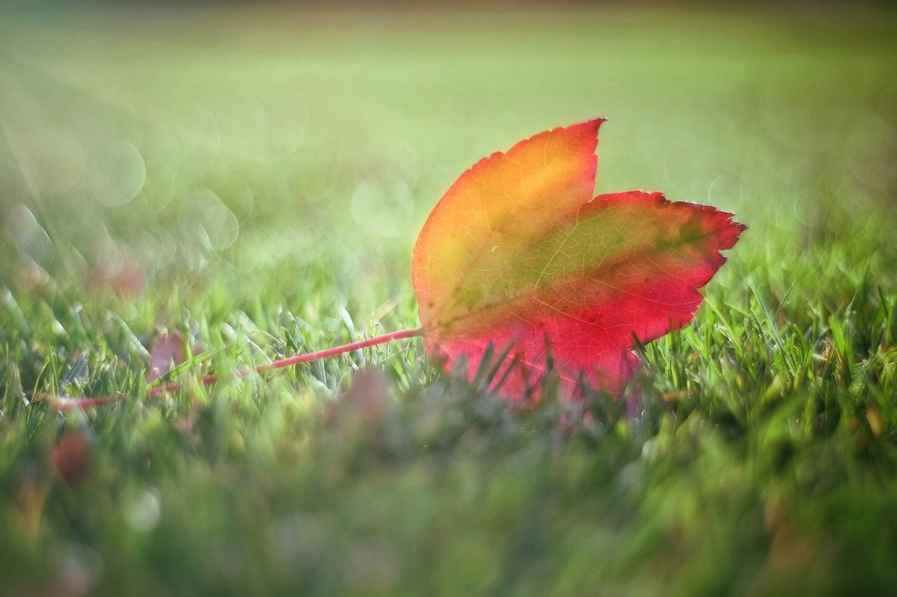 CLOSE-UP OF MAPLE LEAF ON FIELD