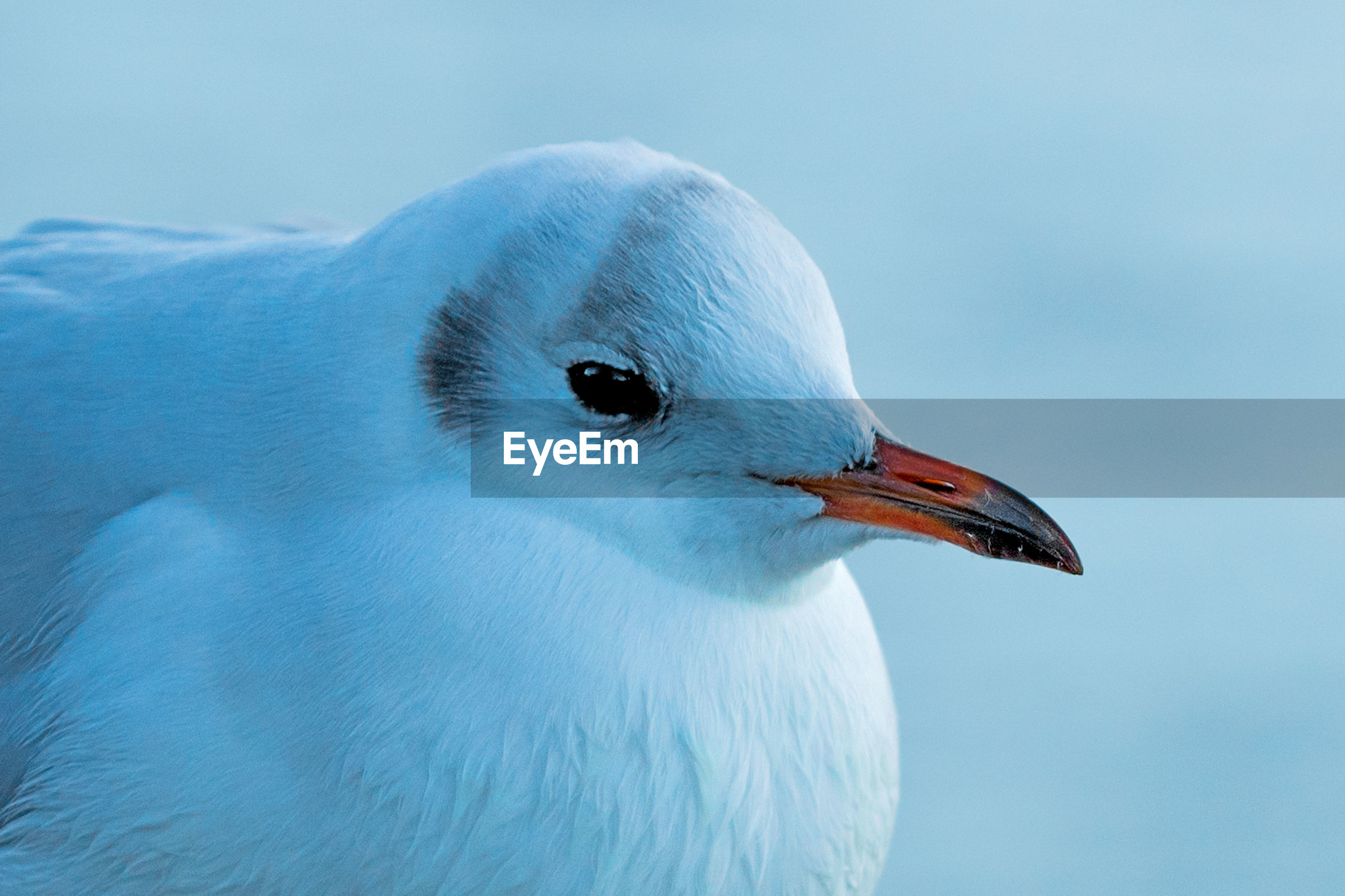 CLOSE-UP OF SEAGULL WITH BLUE SKY