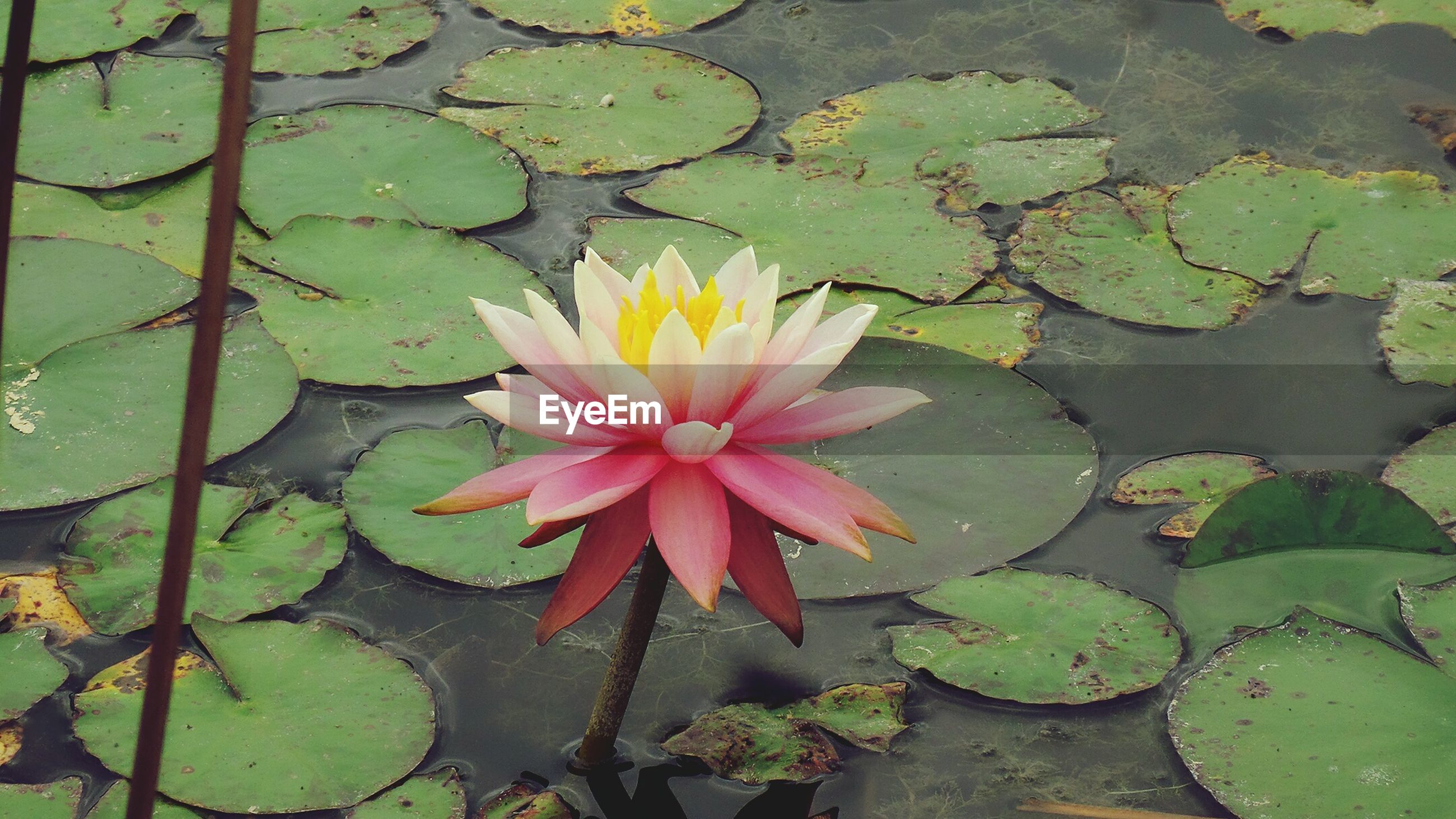 flower, fragility, petal, water, leaf, nature, growth, flower head, beauty in nature, freshness, floating on water, plant, lotus water lily, water lily, no people, wet, blooming, outdoors, pink color, lily pad, close-up, day, raindrop