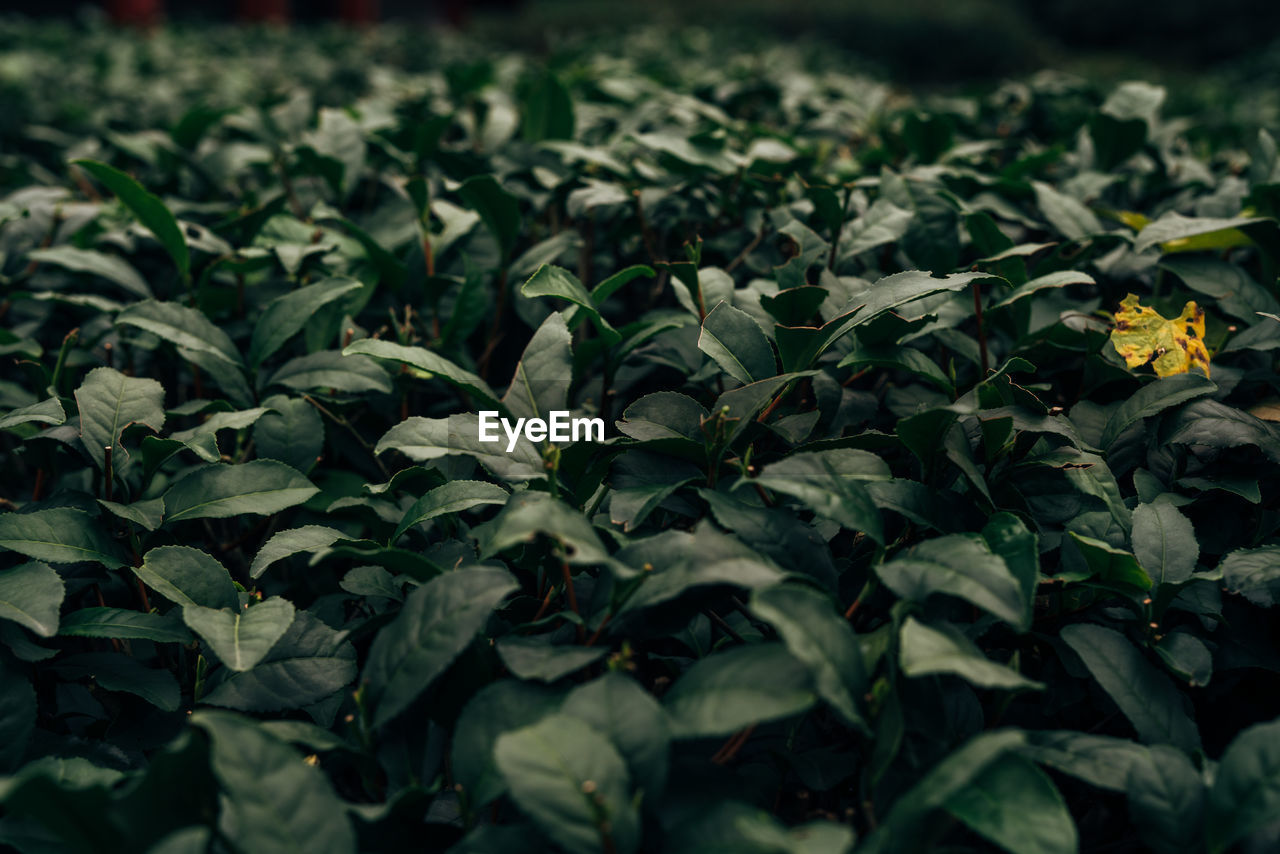 plant, growth, beauty in nature, flower, selective focus, nature, leaf, plant part, flowering plant, freshness, green color, close-up, no people, day, vulnerability, full frame, field, fragility, outdoors, land, flower head, spring