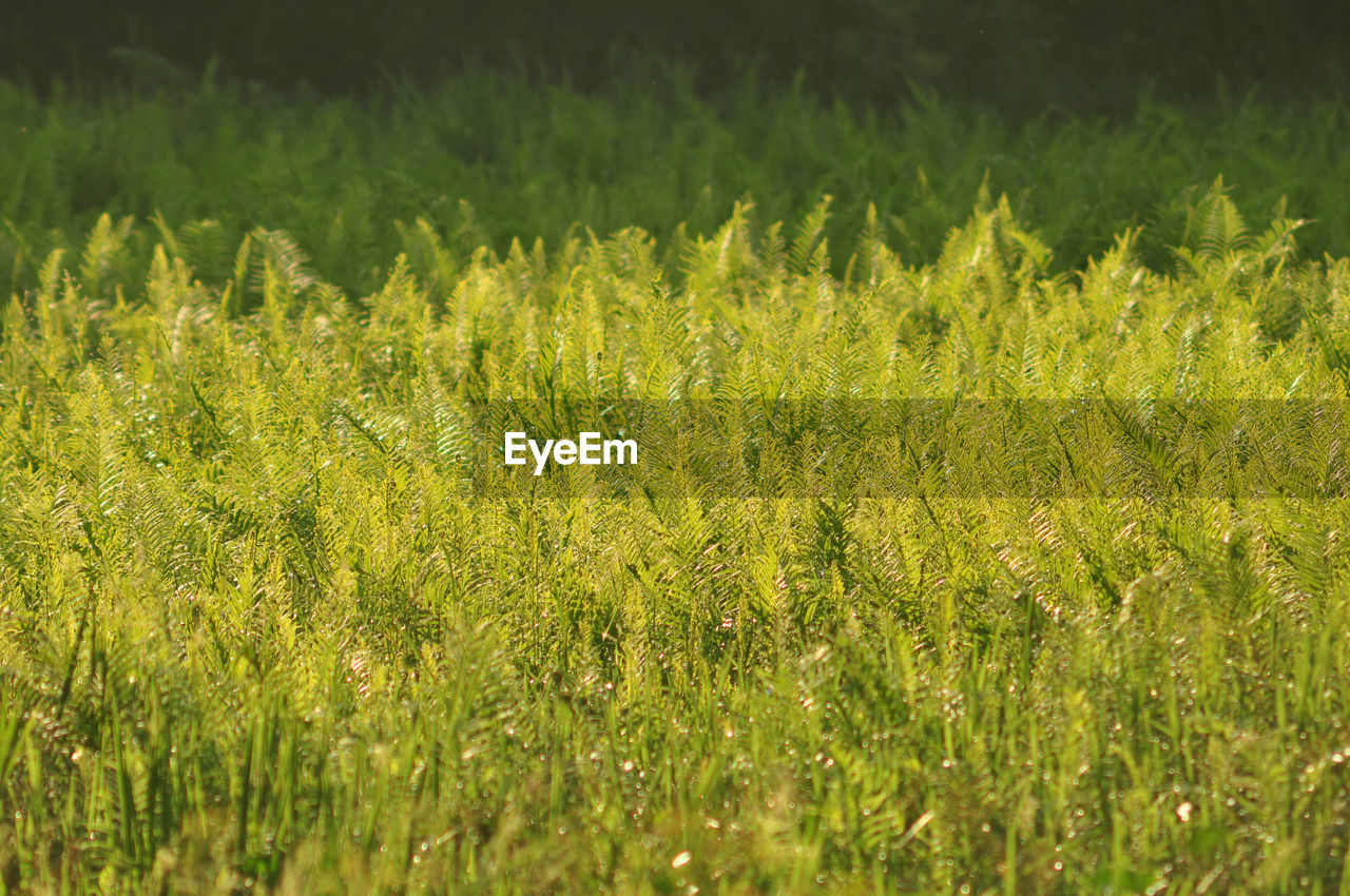 plant, growth, grass, beauty in nature, field, land, green color, nature, selective focus, tranquility, day, no people, full frame, backgrounds, outdoors, landscape, close-up, green, sunlight, environment