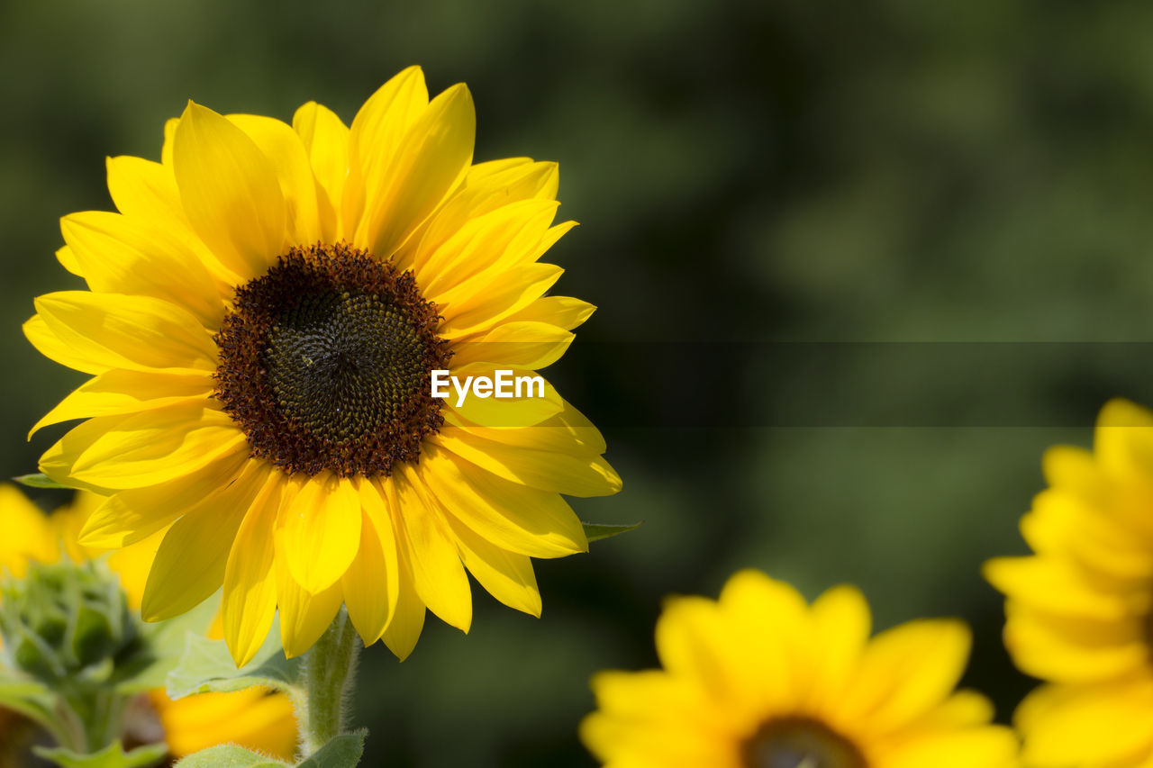 flower, flowering plant, yellow, petal, fragility, growth, vulnerability, flower head, inflorescence, beauty in nature, plant, freshness, close-up, pollen, focus on foreground, nature, sunflower, no people, day, outdoors, pollination