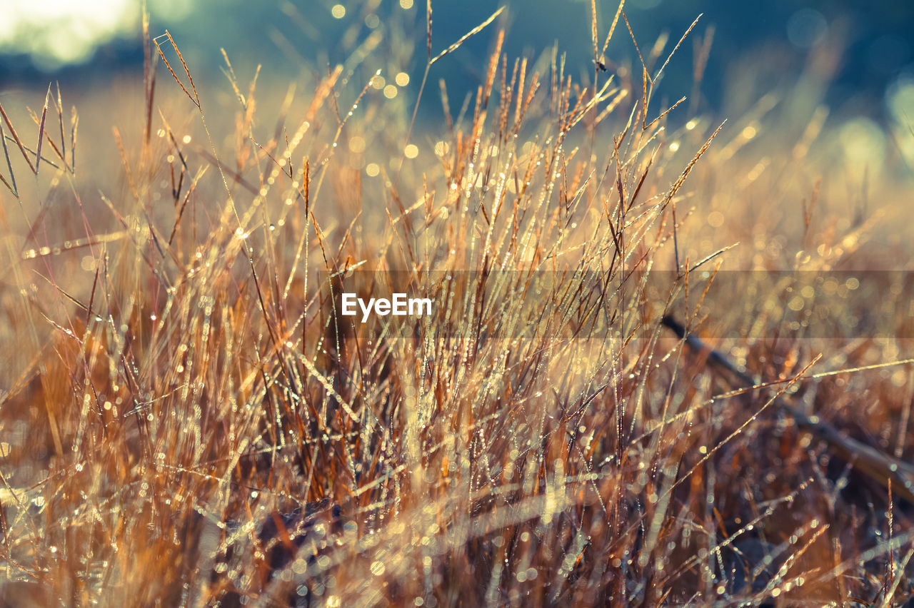 growth, nature, field, no people, plant, grass, tranquility, day, outdoors, beauty in nature, close-up, wheat, freshness