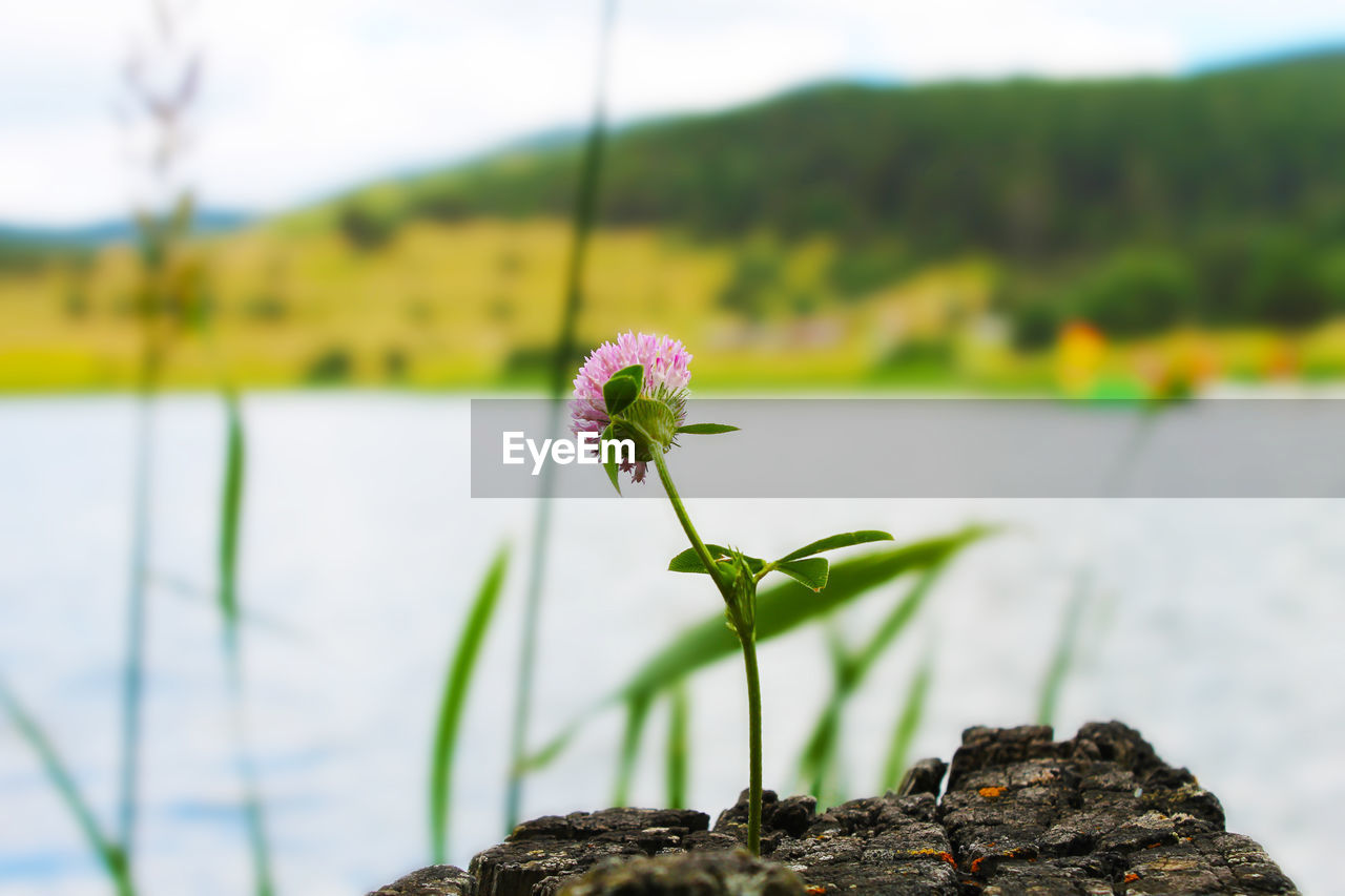 plant, flower, flowering plant, growth, beauty in nature, freshness, focus on foreground, fragility, vulnerability, nature, close-up, no people, day, water, flower head, plant stem, lake, outdoors, inflorescence, botany