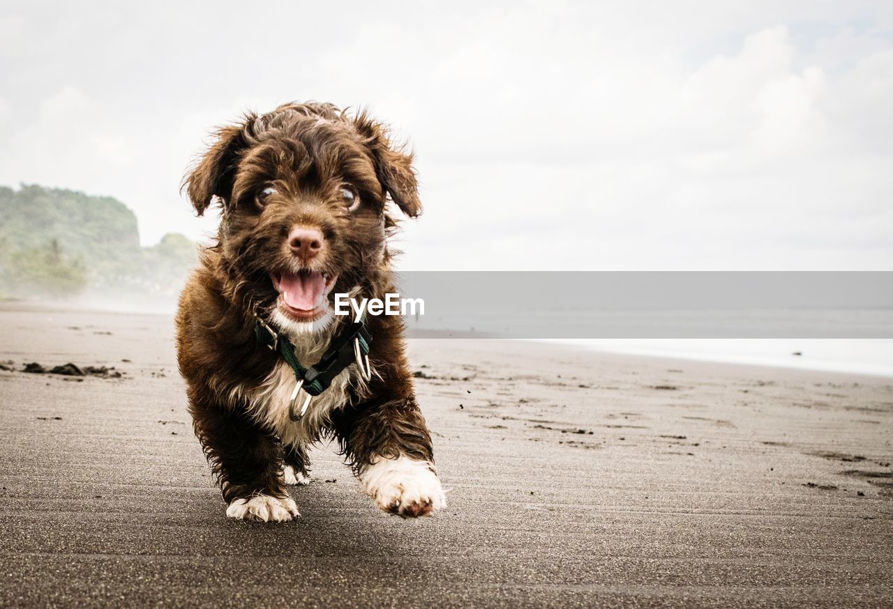 dog, canine, domestic, domestic animals, mammal, pets, one animal, animal themes, beach, land, animal, looking at camera, portrait, sea, vertebrate, sand, sky, water, facial expression, day, no people, mouth open, animal mouth